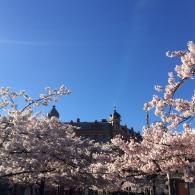 Körsbärsträd på Järntorget